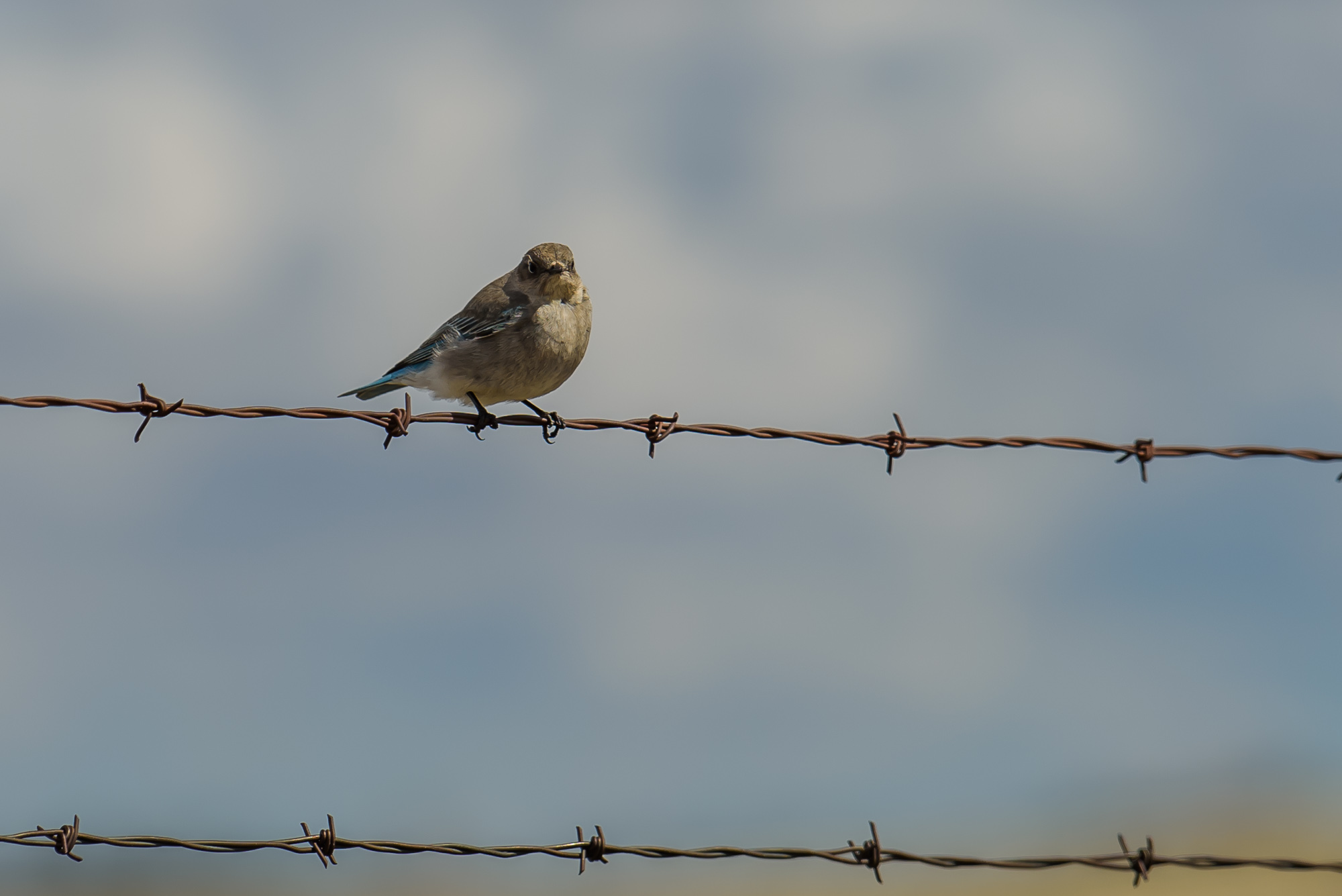 Rocky Mountain Bluebird - female