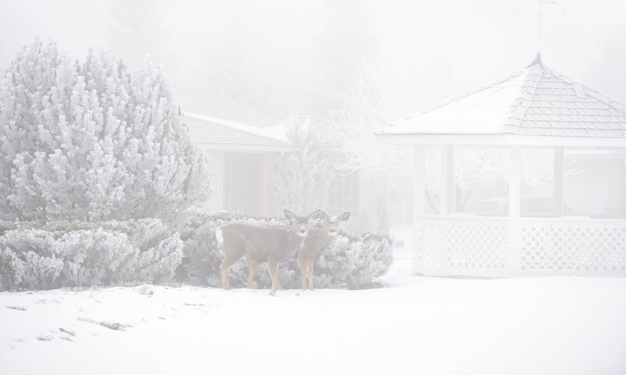 Snowfall and deer