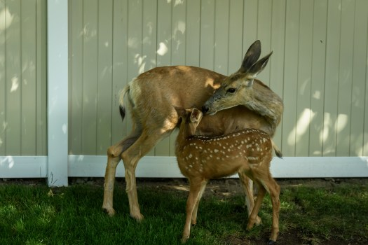 A mom and her fawn