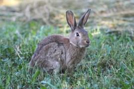 Common Rabbit (Oryctolagus cuniculus)