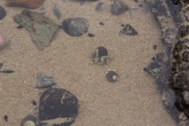 Combats de bernard-l'hermite sur la plage