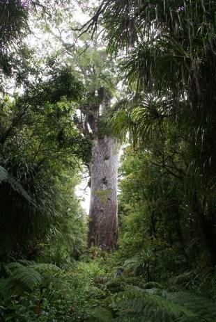 Tane Mahuta, l'un des plus grands kauris encore vivant : plus de 50m de haut, plus de 13m de circonférence et ayant entre 1200 et 2000 ans...