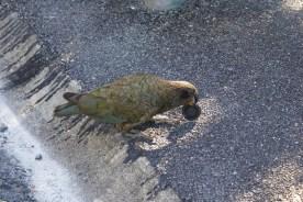 et voici ce qu'on appelle ici un kākā (Nestor meridionalis), une espèce de perroquet endémique