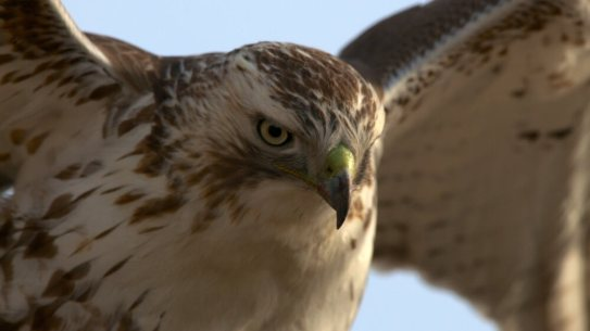Hawk at the Glen