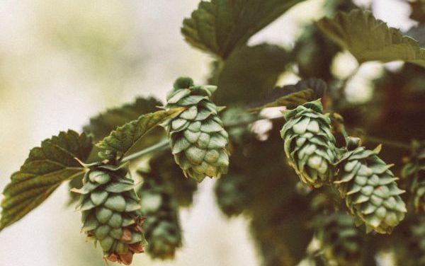 Enslaving Yeast – All Grain Beer Part 2 – Bittering agents