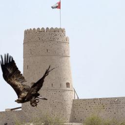 Bird of prey in flight at Kalba Bird of Prey Centre, UAE. Al Ghayl Fort in the background