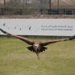 Bird of prey in flight at Kalba Bird of Prey Centre, UAE