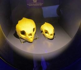 Turtle skulls