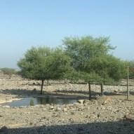 Gazelles at Al Hefaiyeh Mountain Conservation Centre, Kalba