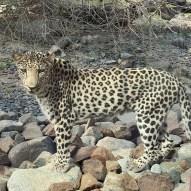 Leopard at Al Hefaiyeh Mountain Conservation Centre, Kalba