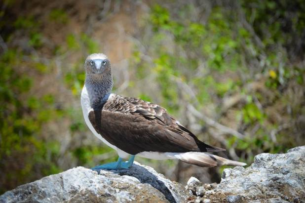 A Blue Footed Booby