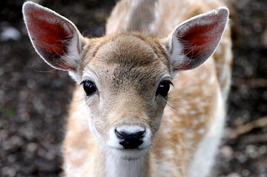 cute beady eyed deer