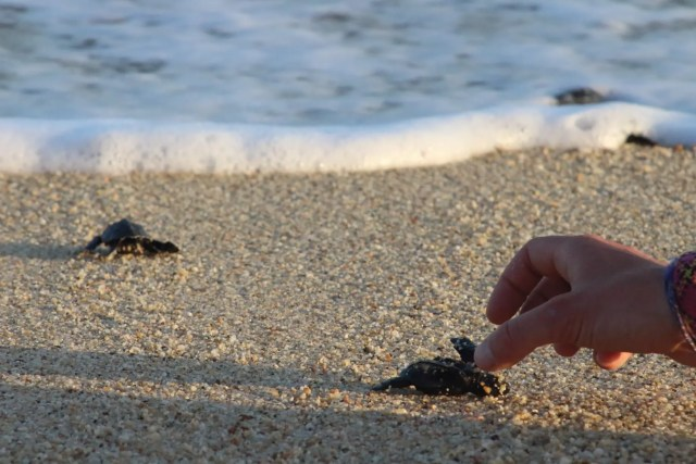 helping baby sea turtle baja