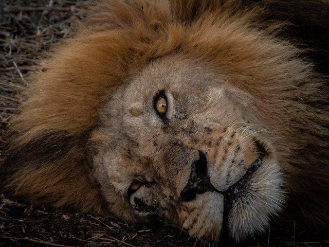 sleeping lion eye wildlife art print