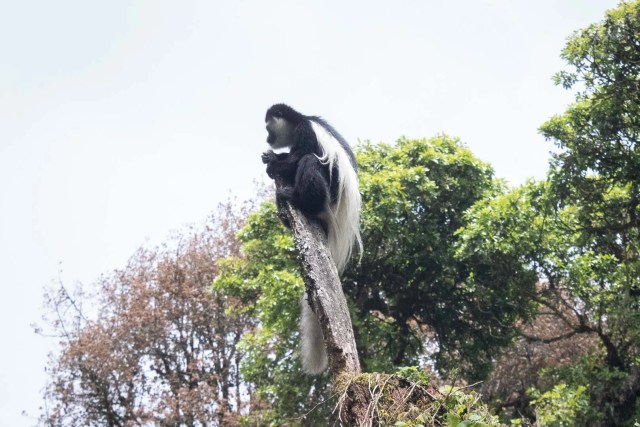colobus monkey Kilimanjaro