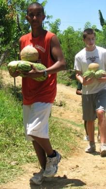 Harvesting melons