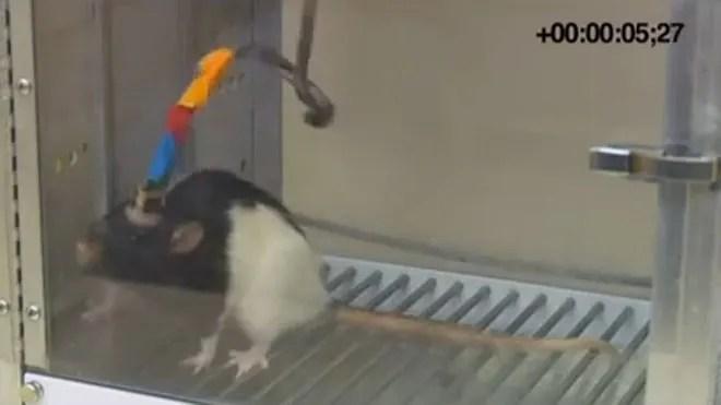 rat-brain-one.jpg