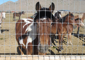 Mustangs captured on federal rangeland earlier this year by the U.S. Bureau of Land Management and confined at the bureau's Palomino Valley holding facility about 20 miles north of Reno, Nev.