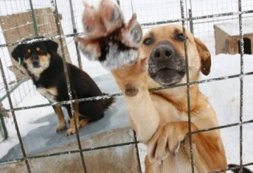 Stray dogs are confined in an animal shelter outside Bucharest. Photo Credit: AP