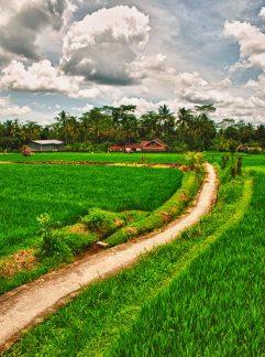 Ubud Rice Field Path   Bali, Indonesia