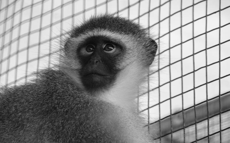 Franco Vervet | Global Animal Welfare Development Society