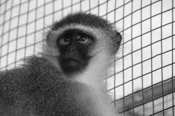 Franco Vervet   Global Animal Welfare Development Society