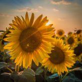 Couple sunflowers at sunset