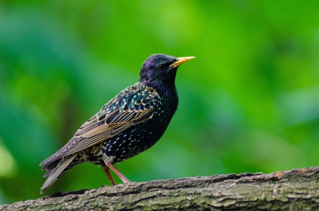 a european starling