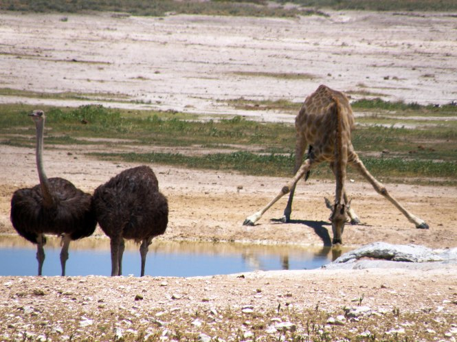 Giraffe and ostrich for Global Debauchery in Namibia