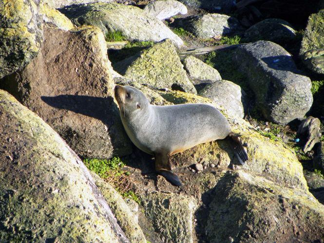 Touranga Bay seal pup on New Zealand's South Island