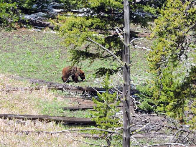 Bear sighting in Yellowstone National Park