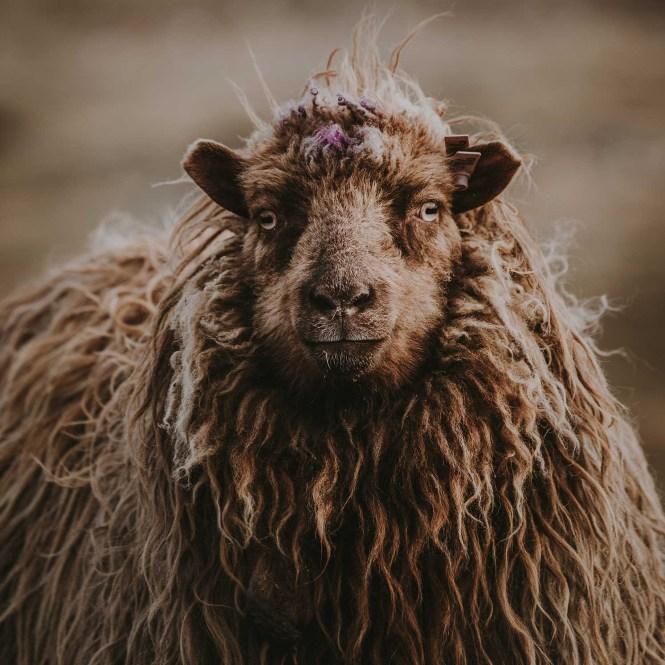 Faroe Islands sheep by Annie Spratt