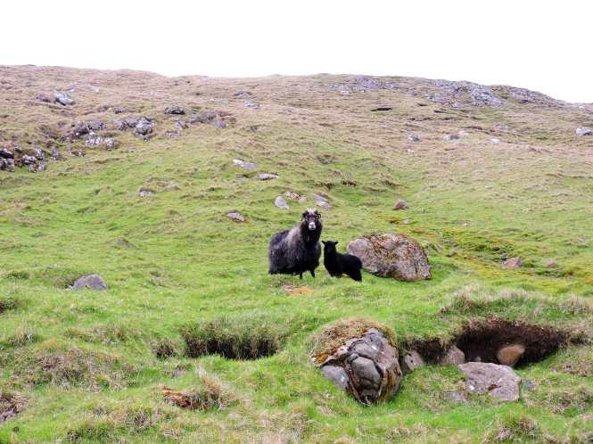 ewe and lamb in faroe islands