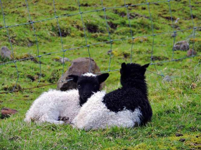 faroese spring lambs