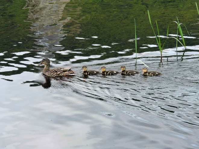 ducks on lake menteith in scotland