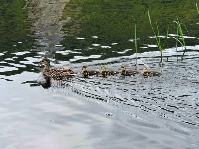 ducks on lake menteith in scotland