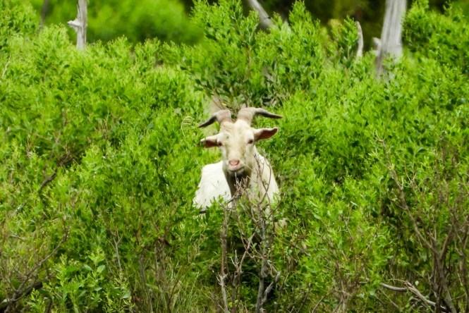 A goat on Goat Island