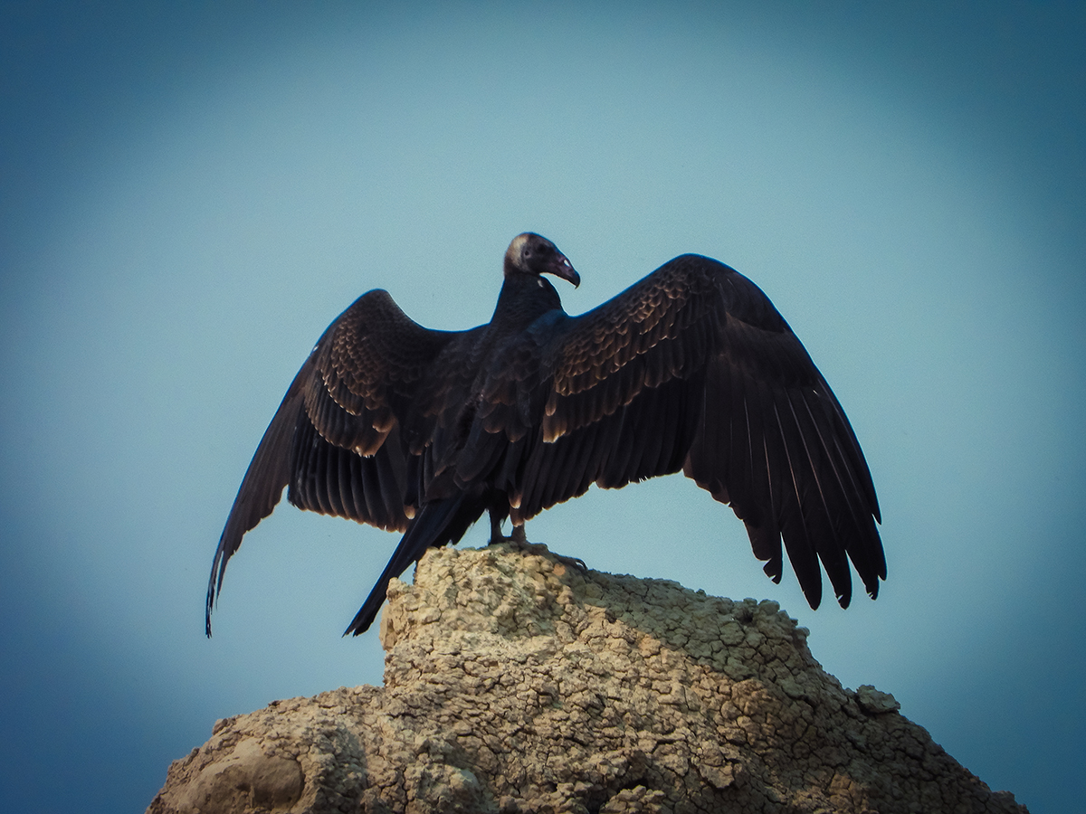 Badlands vulture