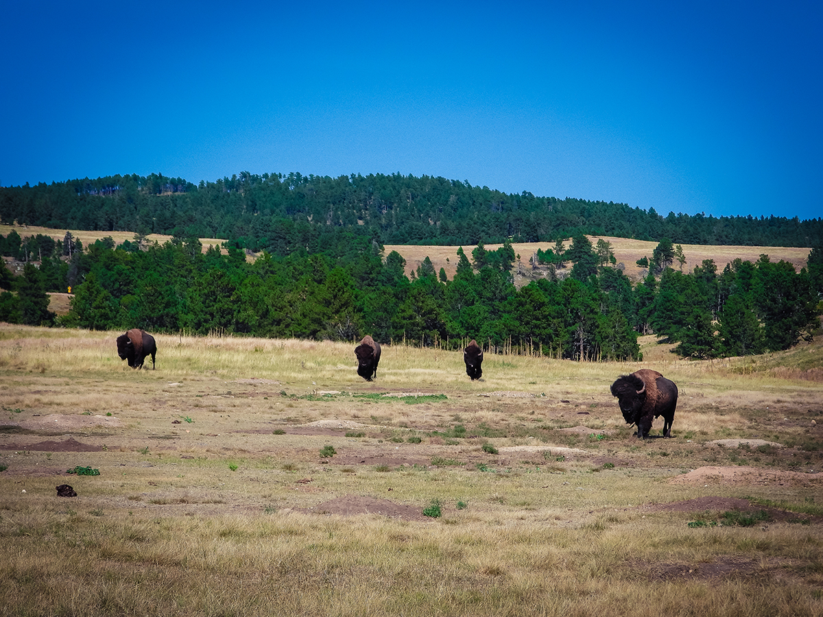 Buffalos by Wind Cave National Park