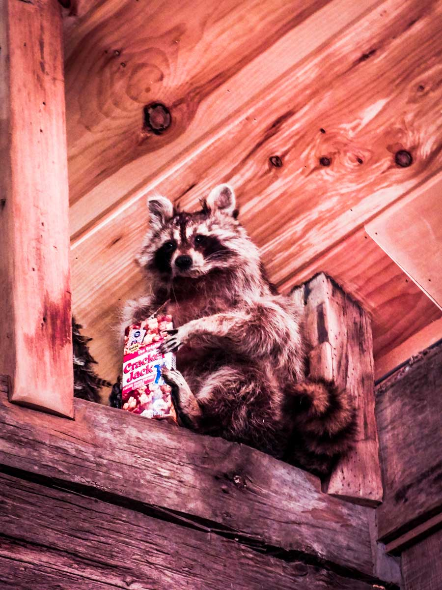 Leiper's Fork Distillery raccoon, one of many awesome things to do around Franklin, TN