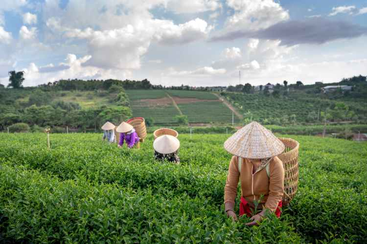 anonymous farmers collecting tea leaves into straw baskets during work on plantation