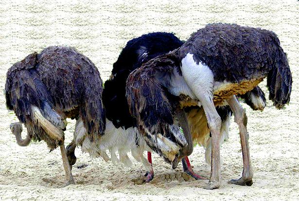 Ostriches-head-in-sand2-2