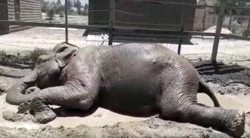 Ramba at the roadside zoo in Chile taking a mud nap