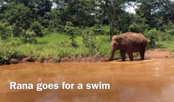 Rana swimming