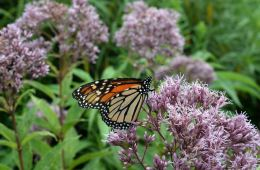 Mariposa monarca posado sobre flor rosa en fotografía de cerca durante el día
