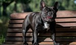 Gene Responsible for Screw Tail in Dogs Linked to Rare Human Disease