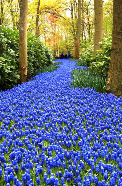 Carpet of blue at Kuekenhof