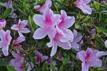 Leu Gardens Azaelea