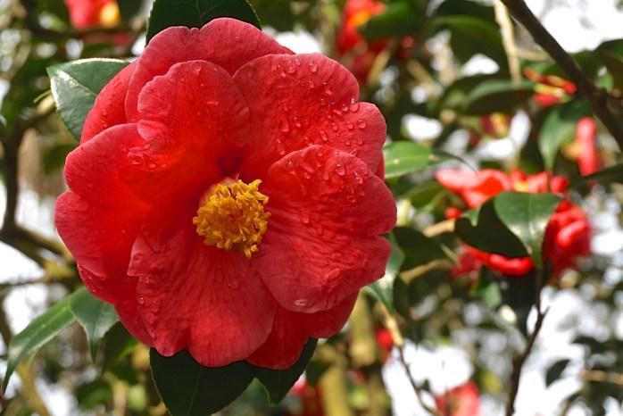 Leu Gardens Camellia