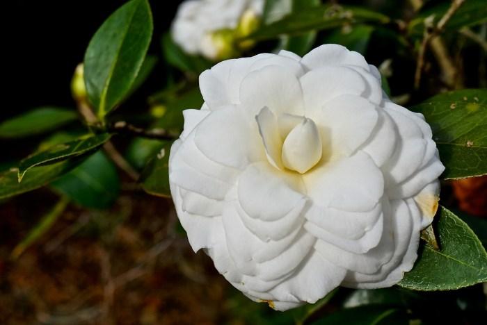 Leu Gardens Camellia White